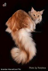 Мейн-кун котята для Вас !